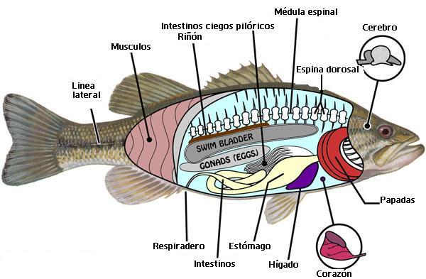 Anatomía interna de los peses - O konkretnej rybie - Artykuły ...