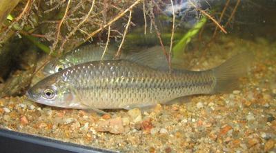 www.fishing.pl/var/news/storage/images/media/fotki/ryby/czebaczek_amurski_ii/94166-3-pol-PL/czebaczek_amurski_ii.jpg