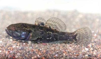 www.fishing.pl/var/news/storage/images/media/fotki/ryby/trawianka_ii/94158-2-pol-PL/trawianka_ii.jpg