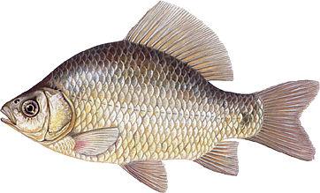 http://www.fishing.pl/var/news/storage/images/media/foto_administracyjne/ryby/karas/15848-4-pol-PL/karas.jpg